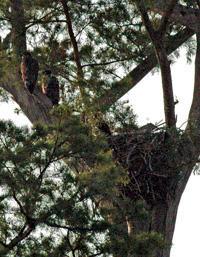 Eaglets add to farm's serenity