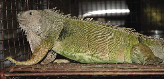 Leapin' lizard! Animal control hosts 'Miss Izzy'