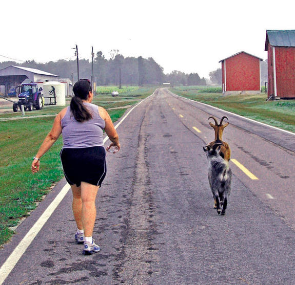Early-morning goat gallop